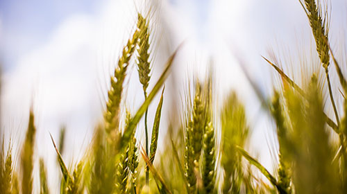 organic cereals and wheat